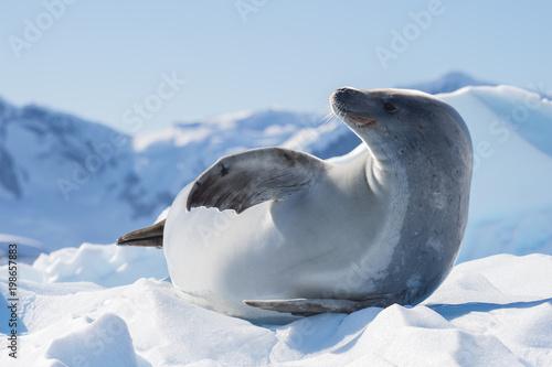 Fototapeta premium Crabeater seal on ice flow, Antarktyda
