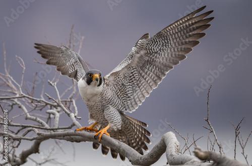 Fototapeta Peregrine Falcon