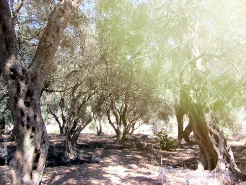 Fotografia Greek olive grove detail