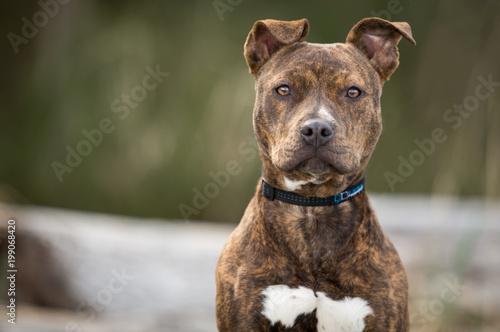 Obraz na plátně Pitbull puppy