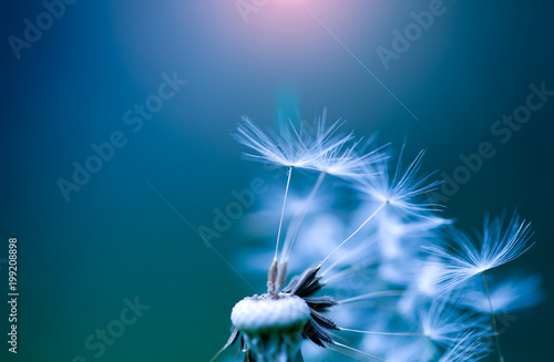 art photo of dandelion close-up on blue background