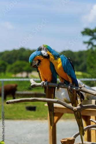 Fotografia Two parrots telling secrets Pair of macaw parrots in the wild