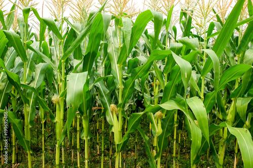 green field of corn growing up in farm Fototapeta
