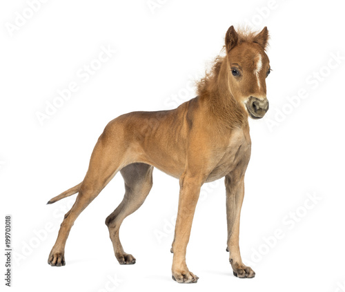 Photo chimera with a Great Dane and a head of foal against white background