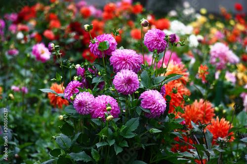 Fotomural Lilac a dahlia