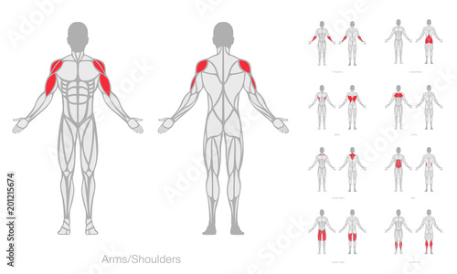 Canvas Human muscles anatomy model vector