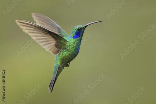Stampa su Tela Green Violet-ear - Colibri thalassinus, beautiful green hummingbird from Central America forests, Costa Rica