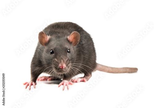 Obraz na płótnie Grey rat isolate