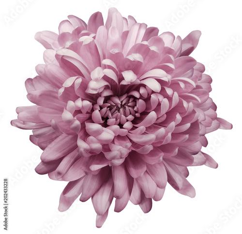 Foto Pink chrysanthemum