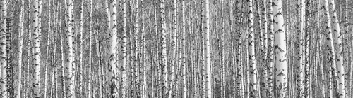 Tableau sur Toile Birch grove on a sunny spring day, landscape banner, huge panorama, black-and-wh