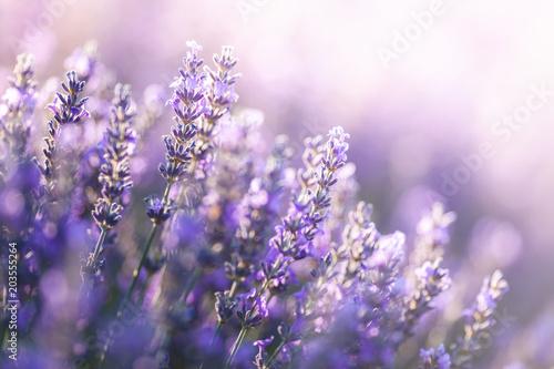 Fototapeta premium Zakończenie widok lawenda w Provence, Francja