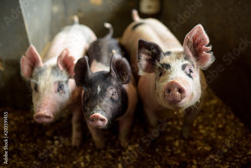 Photo Three pigs looking at the camera