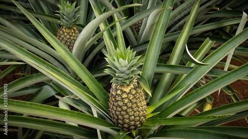 Ananas wächst an der Pflanze
