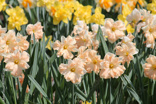 Large group of blooming daffodils on flowerbed. Cultivars from Cyclamineus or Split-corona Group with white petals and central salmon corona