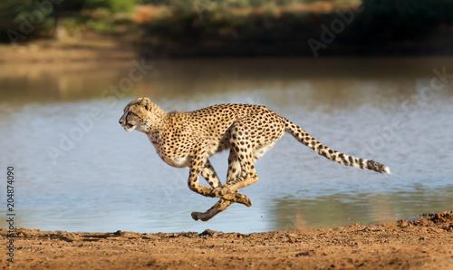 Fotografia Cheetah running, (Acinonyx jubatus), South Africa