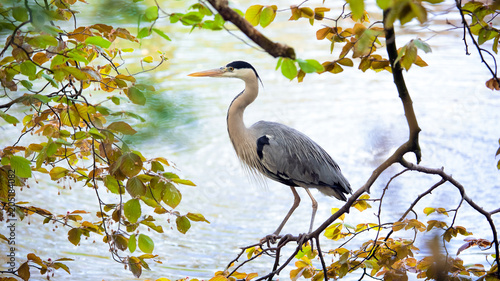 Tablou Canvas Grey heron bird on the tree