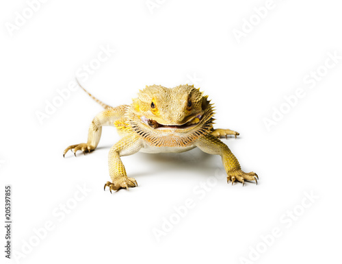 Agama. Bearded dragon is eating a worm.