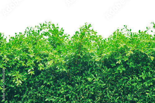 Carta da parati Shrubbery, Green hedges, Shrubbery texture background, Exterior in natural style