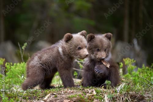 Canvas Print Wild brown bear cub closeup