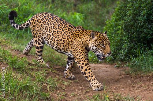 Fototapeta Jaguar in Amazon rain forest