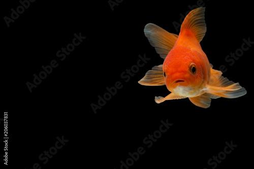 Fotografie, Obraz Goldfish in the background black