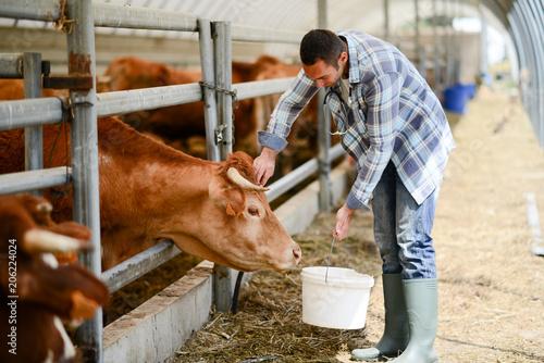 handsome veterinary in a small breeding husbandry farming production taking care Fototapeta