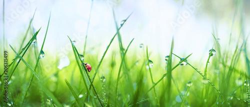 Fototapeta premium Świeża soczysta młoda trawa w kropelkach ranek rosa i biedronka w lato wiośnie na naturze makro-. Krople wody na trawie, naturalna tapeta, widok panoramiczny, nieostrość.