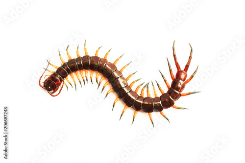 Fotografía centipede isolate on white background