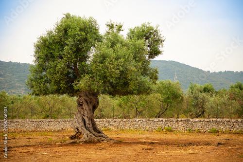 Obraz na płótnie Olive plantation with old olive tree in the Apulia region, Italy