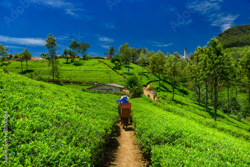 Canvas Print Tea plantations and factory in Sri Lanka.