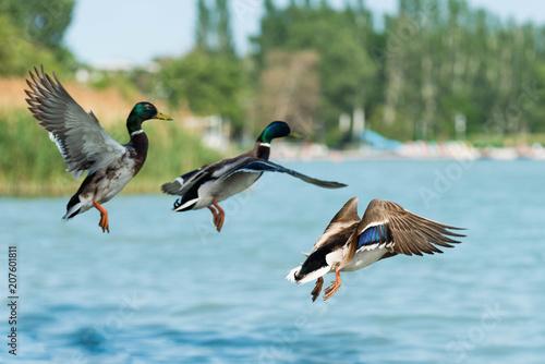 Carta da parati beautiful duck at Balaton