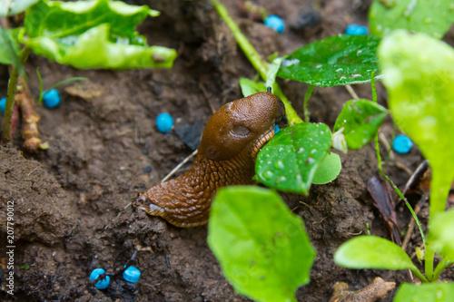 Slug eating snail grain