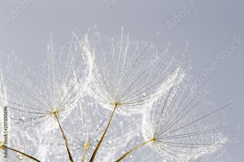 Fototapeta premium tło nasion mniszka lekarskiego. Nasieniodajny makro- zbliżenie. Wiosenna natura