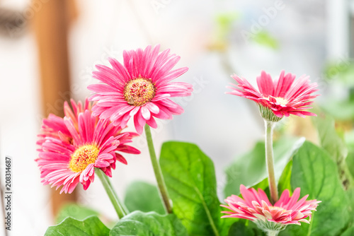 Fototapeta Macro closeup of flower pot with pink gerbera daisies potted plant in sunny room