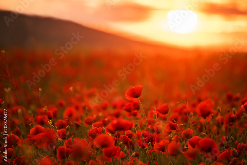 Fototapeta premium Niezwykle piękne kwitnące maki. Czerwone pole kwiatów o zachodzie słońca.