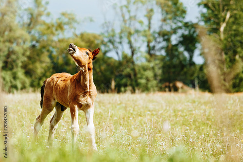 little foal sniff air on the field. Sunny day Fototapeta