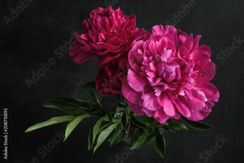 Beautiful pink peonies on dark background. Floral still life. Magenta peony flowers