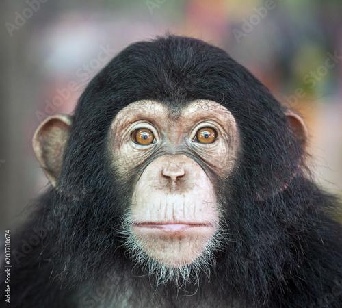 Photographie Chimpanzee funny.