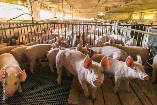 Canvas Print Pig farms in confinement mode
