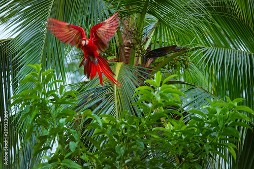 Wallpaper Mural ra macao, Scarlet Macaw,  big, red colored, amazonian parrot flying directly  among palm tree forest, outstretched wings, long red tail against wet forest