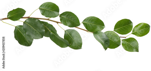 Branch with green leaves.