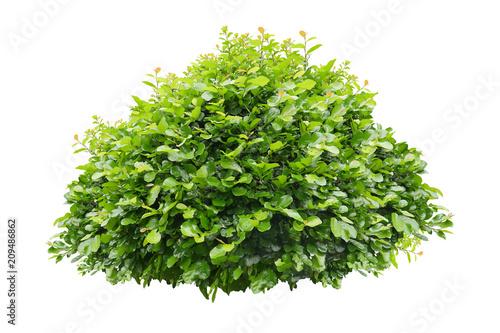 Fotografia, Obraz green bush isolated on white background.