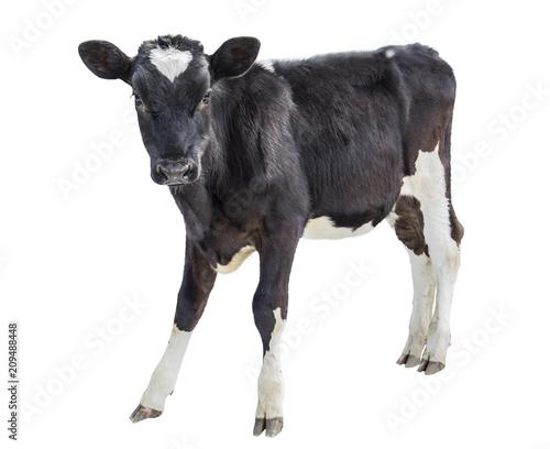 cow farm animal Poster Mural XXL