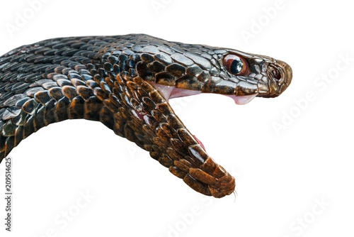 The head of a poisonous snake of a black viper with an open mouth.Isolated on white background.