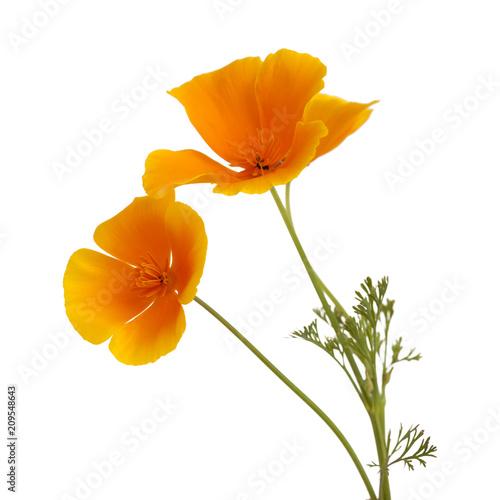 Flora of Gran Canaria - California poppy