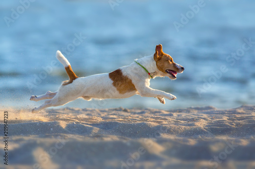 Canvas Print Jack russell terrier dog running on a beach of sea