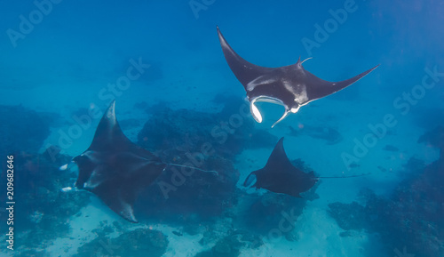Photo Three manta rays doing a manta train in a love parade on the great barrier reef