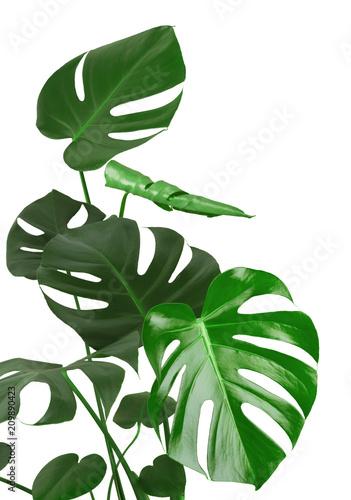 Naklejka na szafę Tropikalny liść Filodendronu Monstera