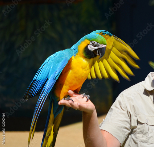 Wallpaper Mural Green  Macaw  Parrot on a Woman Hand.Parrot and Trainer
