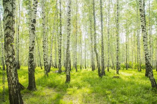 Fotografia summer birch forest